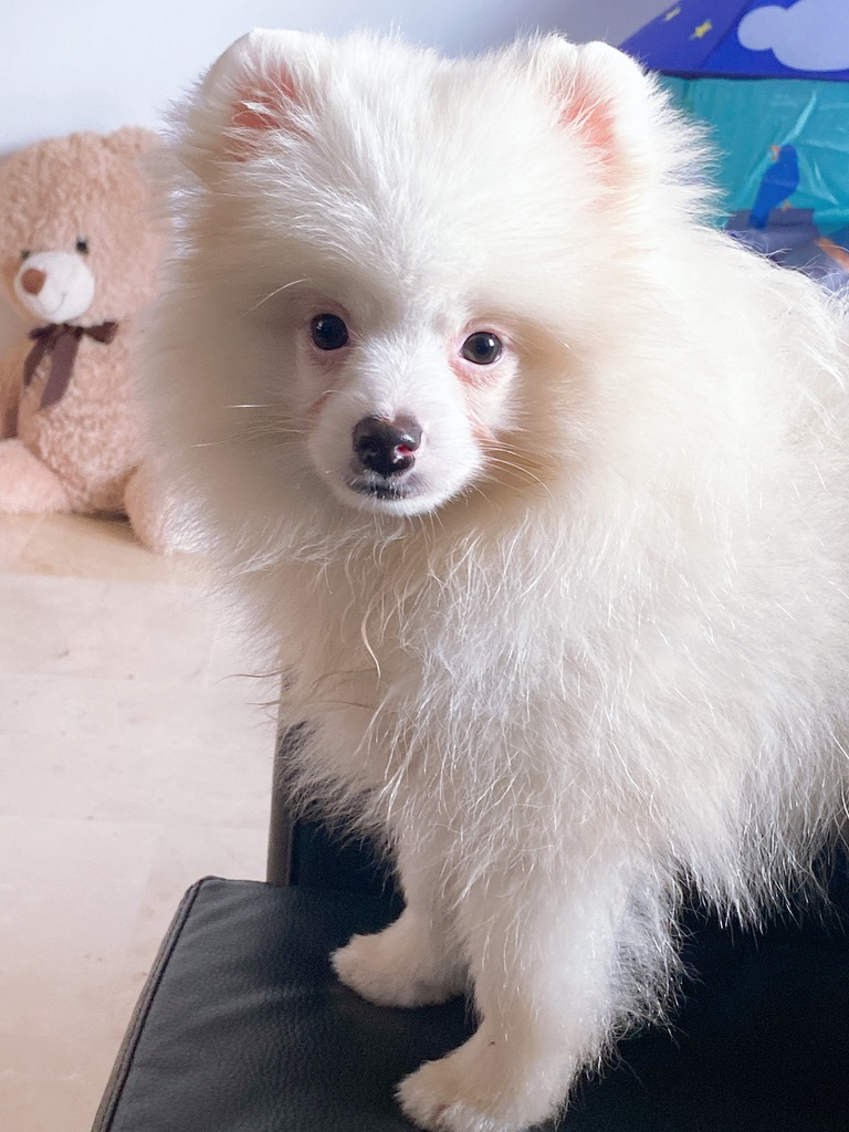 White Pomeranian puppy named Snow.